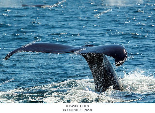 Tail of humpback whale, Cape Cod, Massachusetts, USA