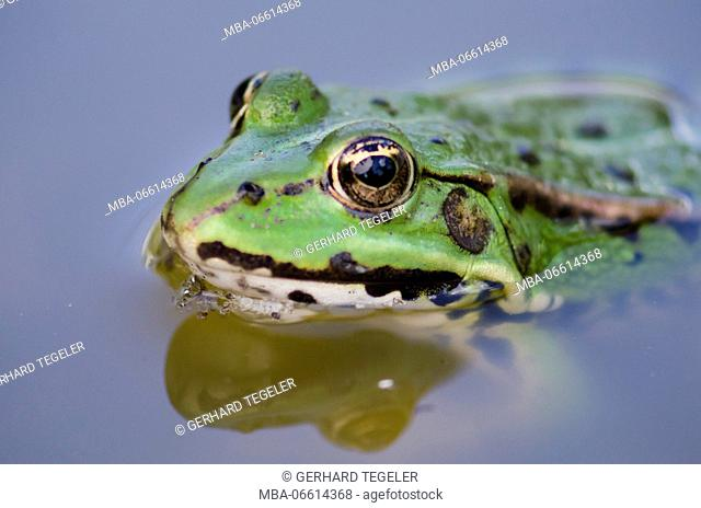 green frog with big frog eyes in the blue water, macro