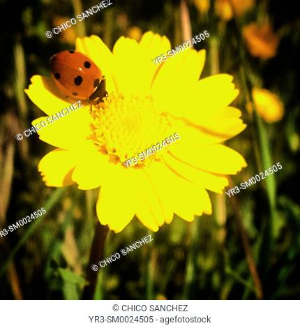 A ladybug perches on a yellow flower in Prado del Rey, Sierra de Grazalema, Andalusia, Spain