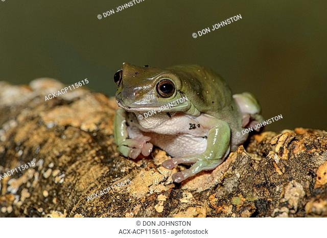 White's Tree Frog (Litoria caerulea), Captive, Reptilia reptile zoo, Vaughan, Ontario, Canada