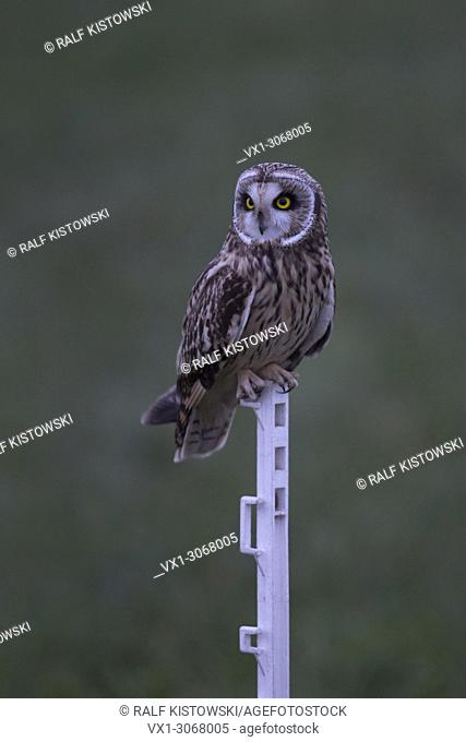 Short-eared Owl ( Asio flammeus ) at dawn in last twilight, perched on an artificial fence pole of a sheep's meadow, wildlife, Europe
