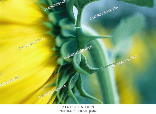 Sunflower, close-up of sepal