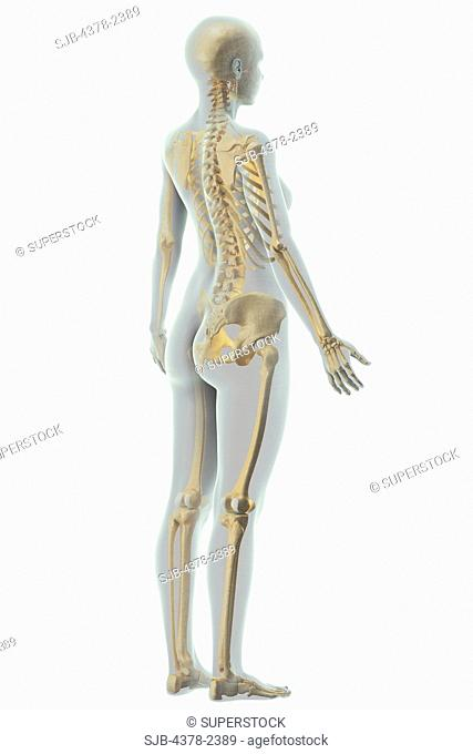 A stylized female figure with a wire frame appearance with the bones of the skeletal system visible