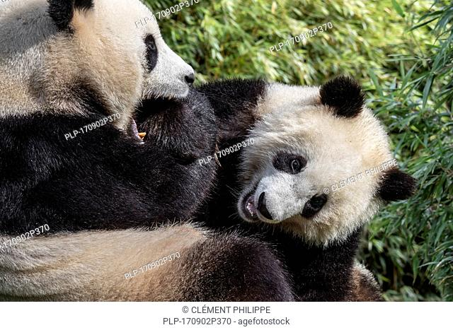 Giant panda (Ailuropoda melanoleuca) female playing with one-year old cub