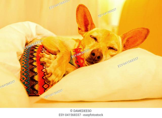 sick and ill chihuahua dog resting having a siesta or sleeping with hot water bottle