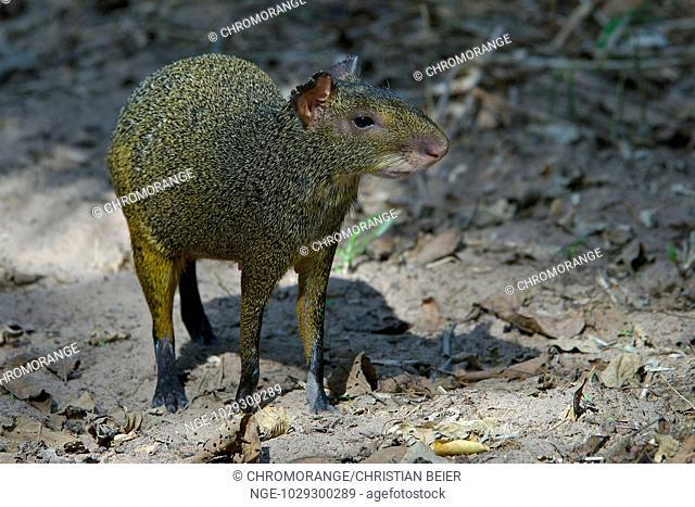 Central American Agouti, Dasyprocta agouti, Pantanal, Brazil
