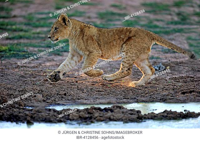 Lion (Panthera leo), cub, four months, running, Tswalu Game Reserve, Kalahari, North Cape, South Africa