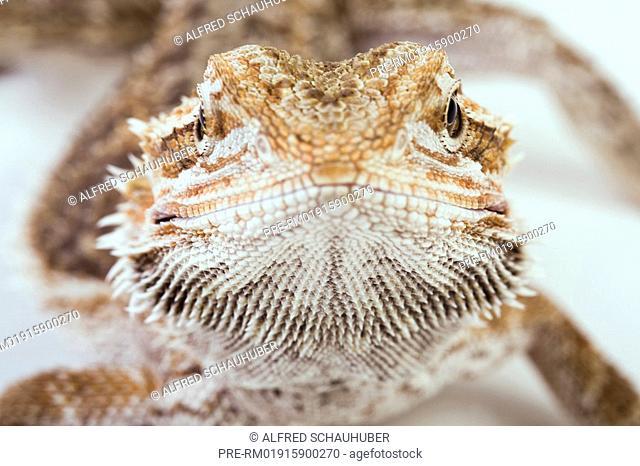 Bearded Dragon, Central bearded dragon, Pogona vitticeps