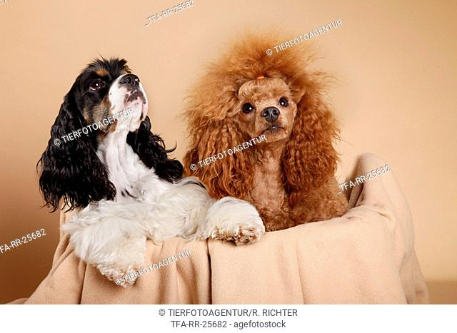 American Cocker Spaniel and poodle