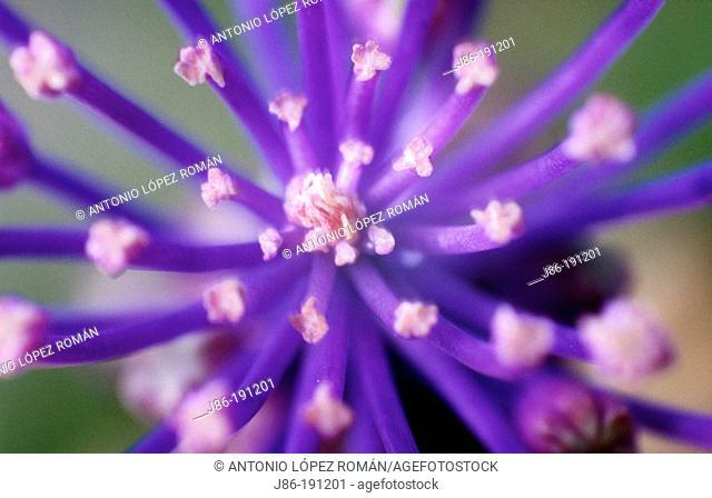 Muscari comosum inflorescence