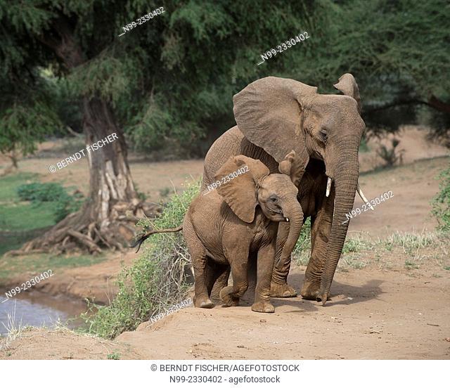 African elephant (Loxodonta africana), cow with cub on a river bank, Samburu National Reserve, Kenya