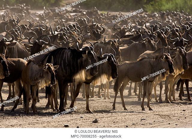 Blue Wildebeest (Connochaetes taurinus) migrating, Lake Ndutu, Tanzania