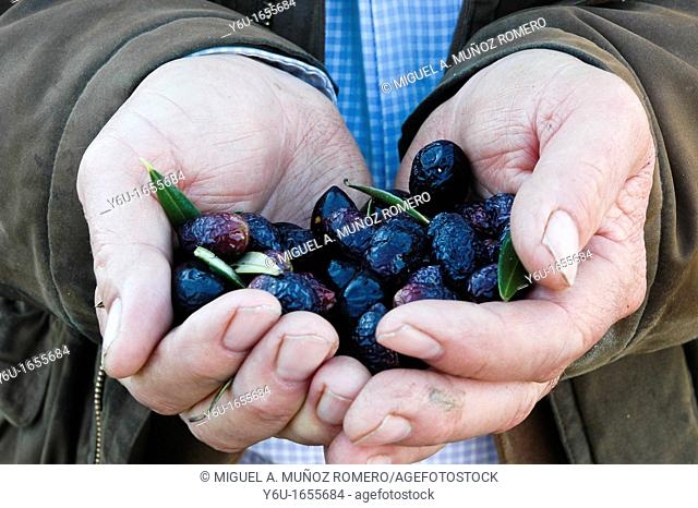 Olives from the Tabernas Desert, Almeria province, Andalusia, Spain