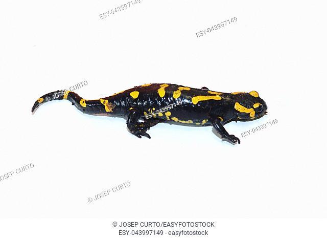 Salamander isolated on white