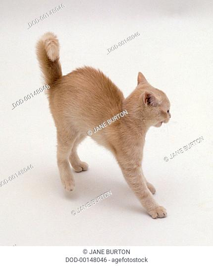 Ginger kitten arching its back, fur standing on end, aggressive stance