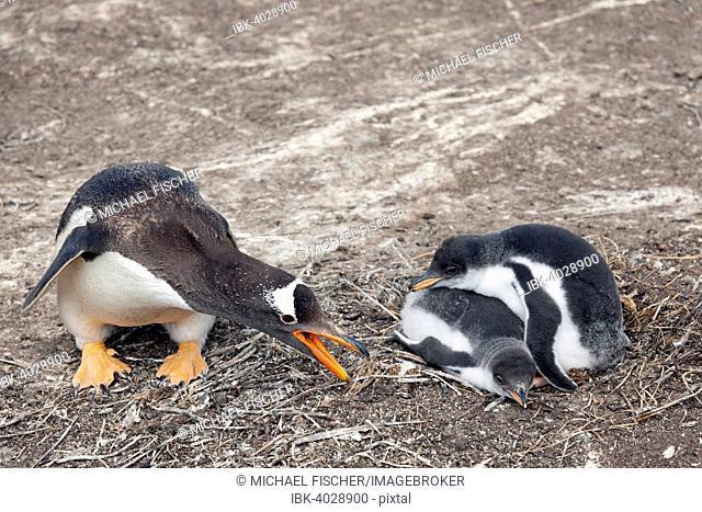 Gentoo Penguin (Pygoscelis papua) with chick, Sea Lion Island, Falkland Islands