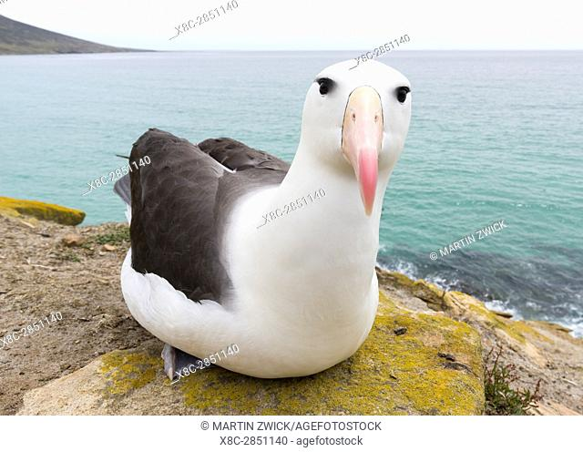 Black-browed Albatross ( Thalassarche melanophris ) or Mollymawk. South America, Falkland Islands, January
