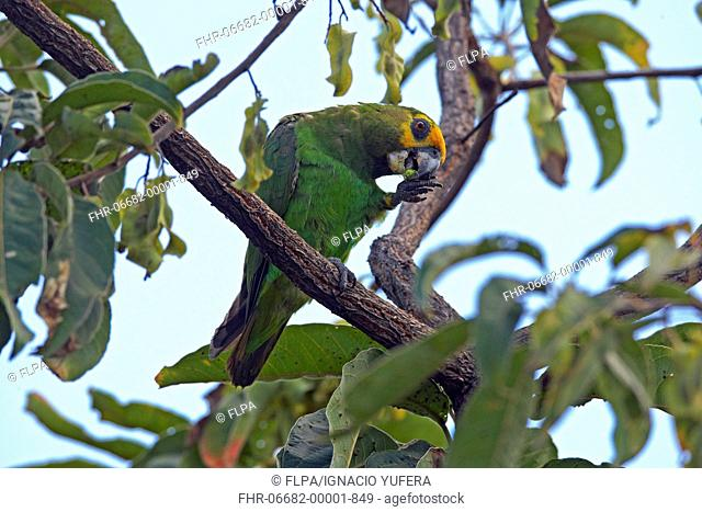 Yellow-fronted Parrot Poicephalus flavifrons adult, feeding, perched on branch, near Yabello, Oromia, Ethiopia
