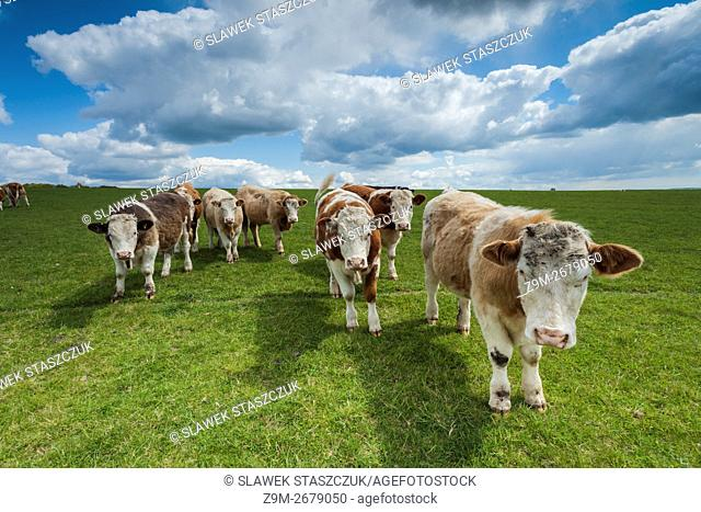 Bulls walking towards camera on the South Downs near Brighton, East Sussex, England