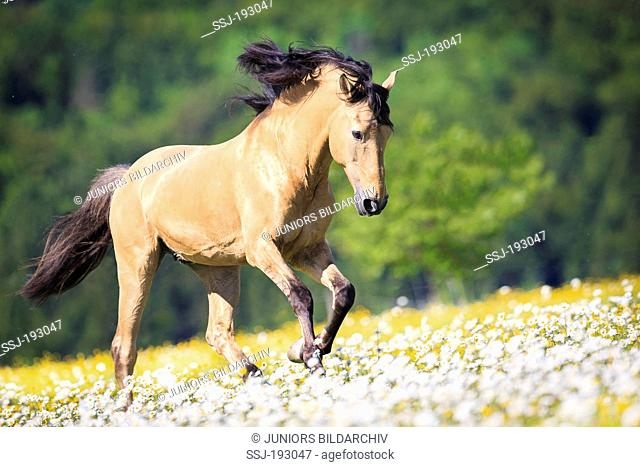 Lusitano Horse. Dun stallion galloping through flowers. Germany