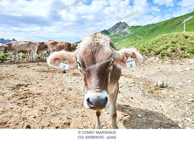 Portrait of cow with ear tag in Tannheim mountains, Tyrol, Austria