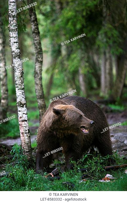 A bear or a grizzly bear Ursus arctos in the middle of a forest a couple of kilometres from the frontier zone in the Suomussalmi wilderness, in Finland
