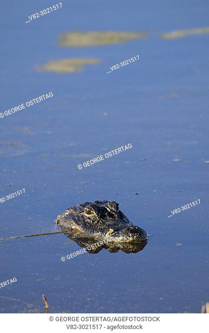 American alligator (Alligator mississippiensis), Orlando Wetlands Park, Florida