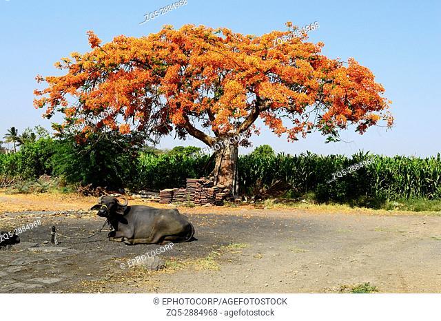 Royal Poinciana Tree (Gulmohar), Delonix regia near Pune, Maharashtra