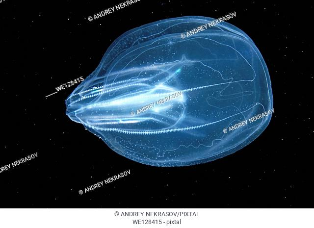 warty comb jelly or sea walnut (Mnemiopsis leidyi), Black Sea, Crimea, Ukraine, Eastern Europe