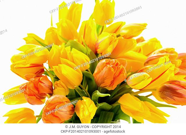 Beautiful bunch of tulip flowers spring on white background