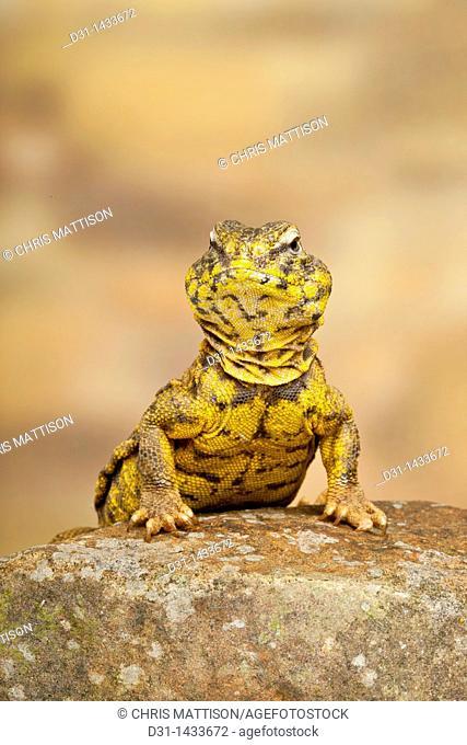 Saharan or Geyr's dab lizard, Uromastyx geyri
