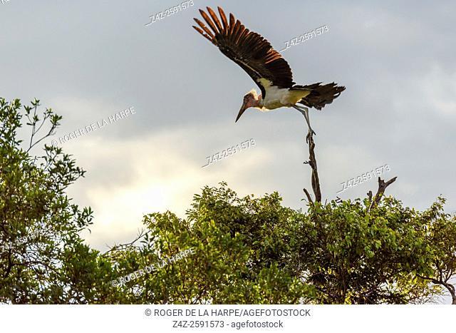 Marabou stork (Leptoptilos crumenifer) taking flight. Serengeti National Park. Tanzania