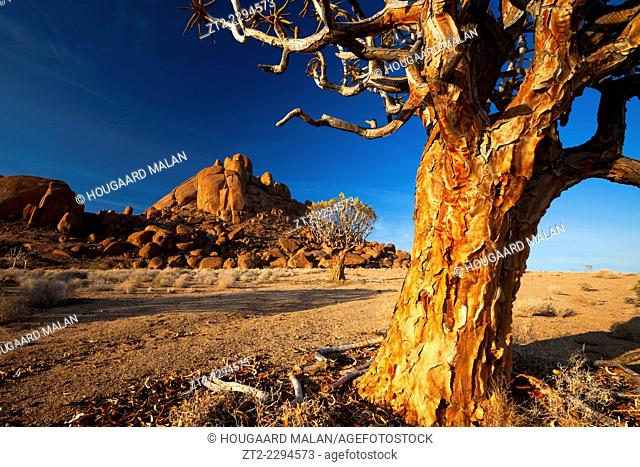 Landscape photo of a quiver tree in the aptly named Kokerboomkloof, which is Afrikaans for valley of quiver trees. Richtersveld National Park, South Africa