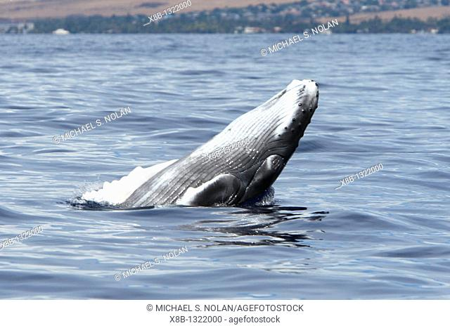 Newborn humpback whale Megaptera novaeangliae calf learning how to breach in the AuAu Channel, Maui, Hawaii  Pacific Ocean  This calf is only a few hours to a...