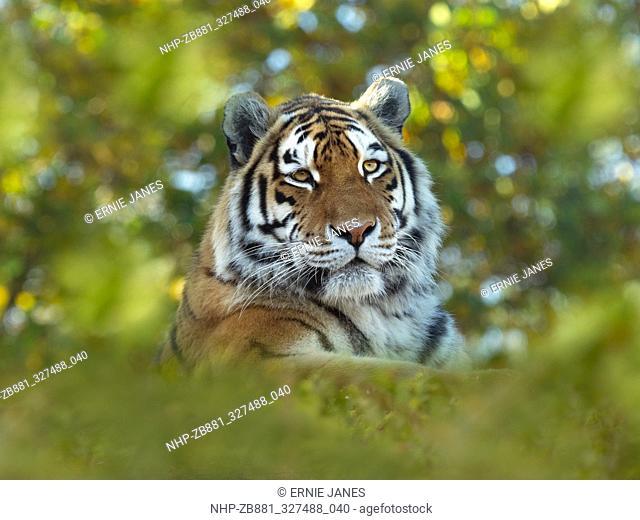 Siberian tiger Panthera tigris tigris or Amur tiger  Captive