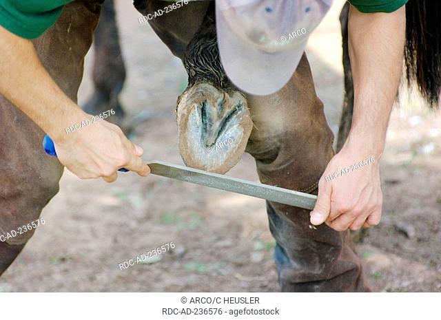 Rasping hoof of horse / farrier, rasp, blacksmith