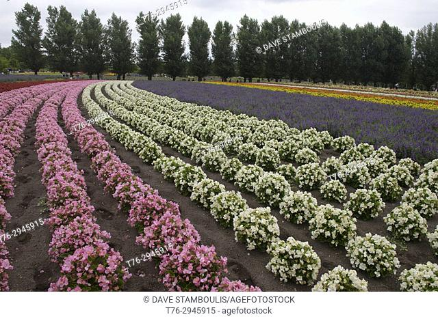 Colourful begonias at Farm Tomita in Nakafurano, Hokkaido, Japan