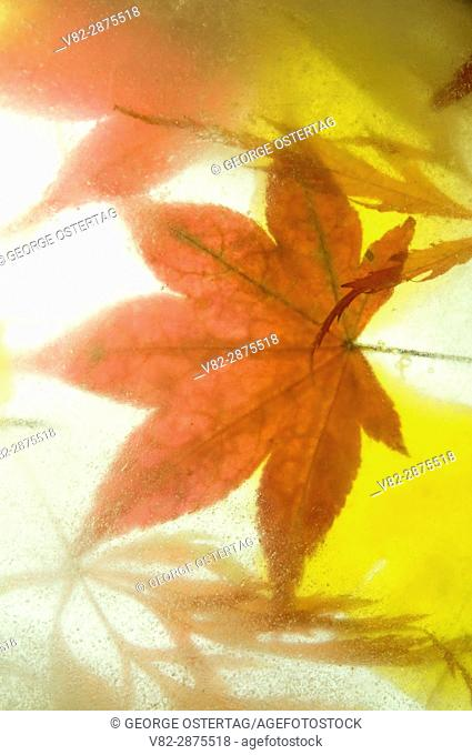 Japanese maple and ginkgo leaves