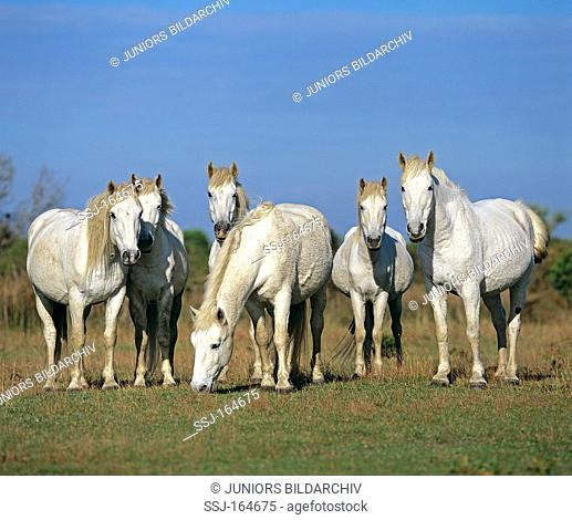 Camargue horses - standing on meadow