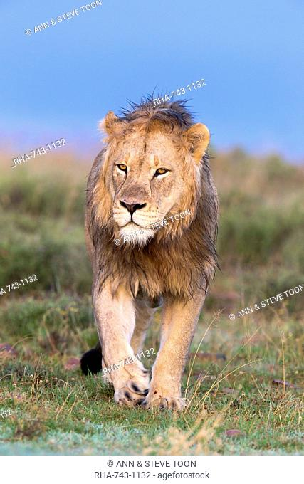 Lion (Panthera leo) on patrol, Mountain Zebra National Park, Eastern Cape, South Africa, Africa