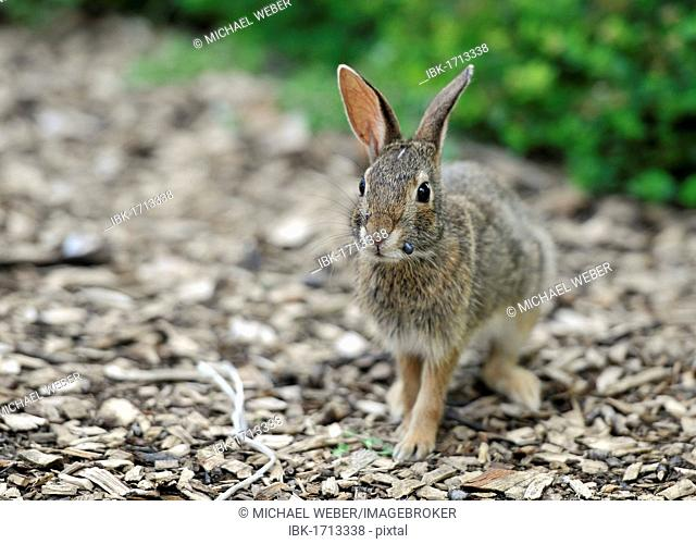 Cottontail rabbit (Sylvilagus), leveret, with ticks on its mouth, Chicago, Illinois, United States of America, USA