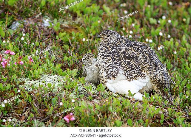 White-tailed Ptarmigan (Lagopus leucurus) in the alpine habitat of British Columbia, Canada