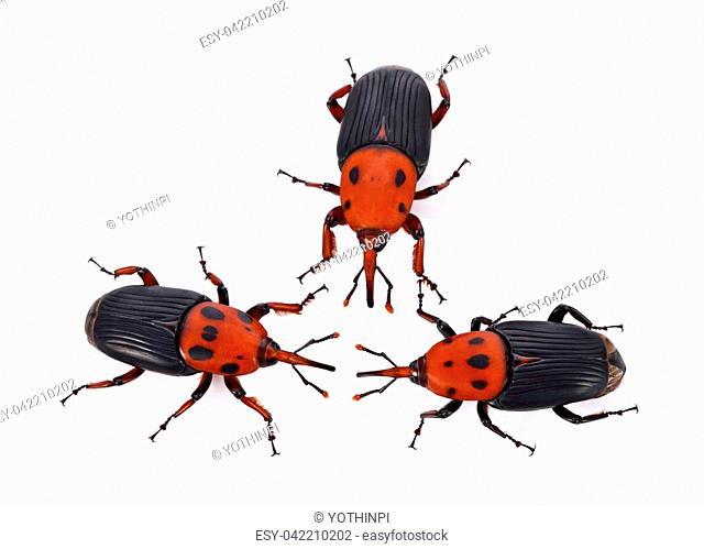 Larva red palm weevil rhynchophorus ferrugineus Stock Photos and
