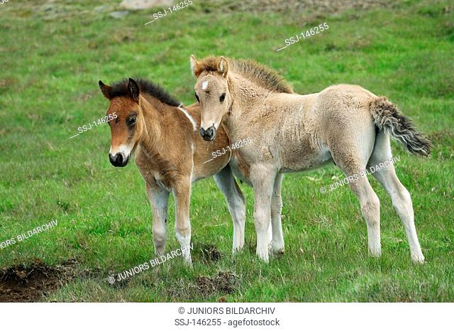 two icelandic horse foals - standing on meadow
