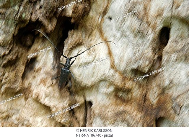 Scandinavia, Sweden, Oland, View of beetle insect on tree trunk, close-up