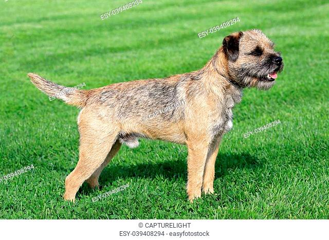 The typical Border Terrier in a garden