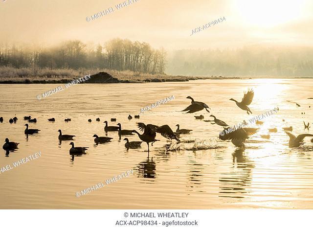 Canada Geese, Burnaby Lake Regional Park, Burnaby, British Columbia, Canada