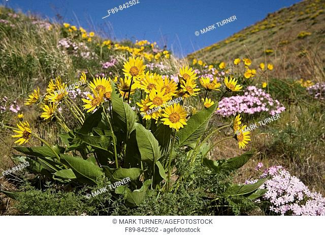 Carey's Balsamroot & Showy Phlox on rocky hillside