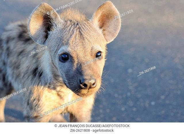 Spotted hyena or Laughing hyena (Crocuta crocuta) cub, standing on a tarred road, curious, early morning, Kruger National Park, South Africa, Africa