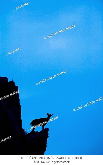 Spanish Ibex (Capra pyrenaica). Maro-Cerro Gordo cliffs, Malaga province, Andalucia, Spain